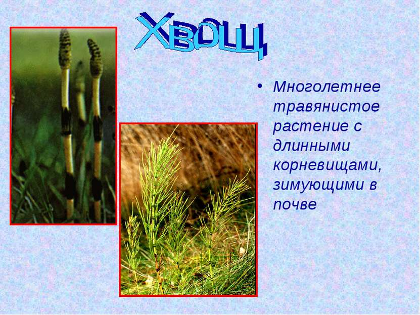 Многолетнее травянистое растение с длинными корневищами, зимующими в почве
