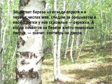 Зацветает береза на исходе апреля и в первых числах мая, следом за орешником ...