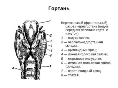 Гортань Вертикальный (фронтальный) разрез черезгортань (видна передняя полови...