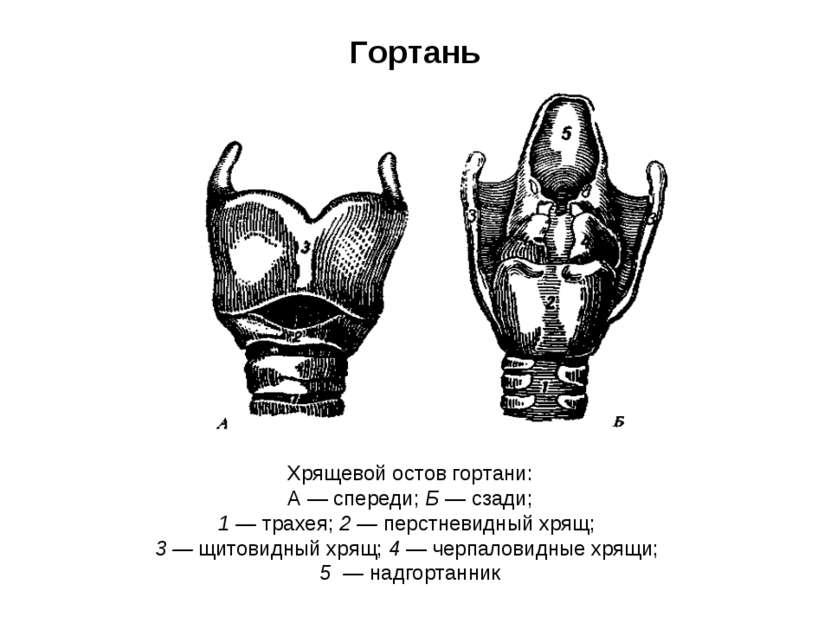 Гортань Хрящевой остов гортани: А — спереди; Б — сзади; 1 — трахея; 2 — перст...