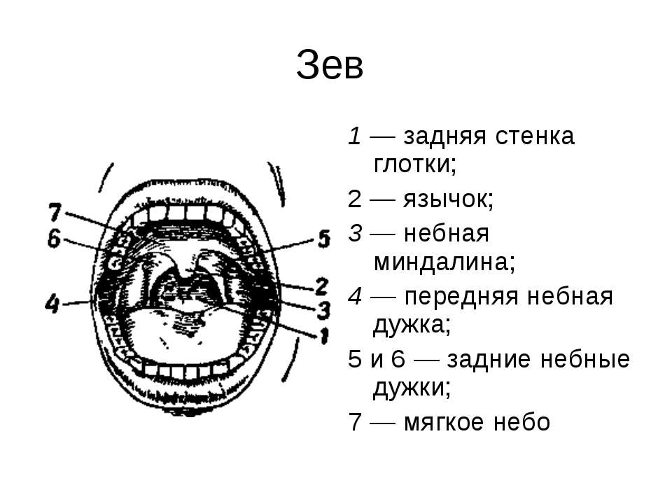 Зев 1 — задняя стенка глотки; 2 — язычок; 3 — небная миндалина; 4 — передняя ...