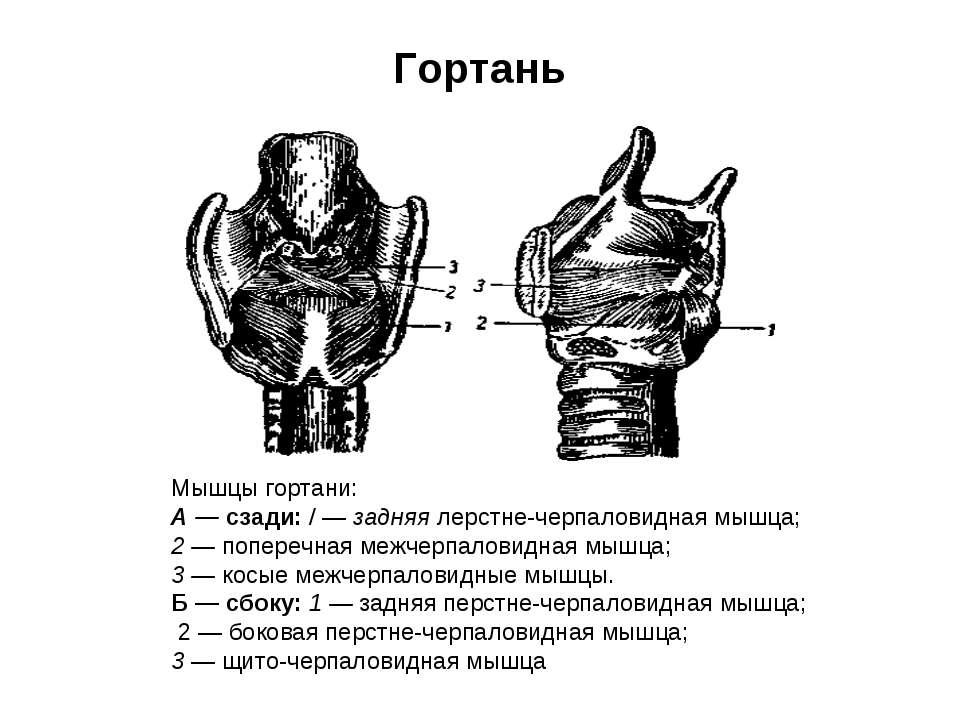 Гортань Мышцы гортани: А — сзади: / — задняя лерстне-черпаловидная мышца; 2 —...
