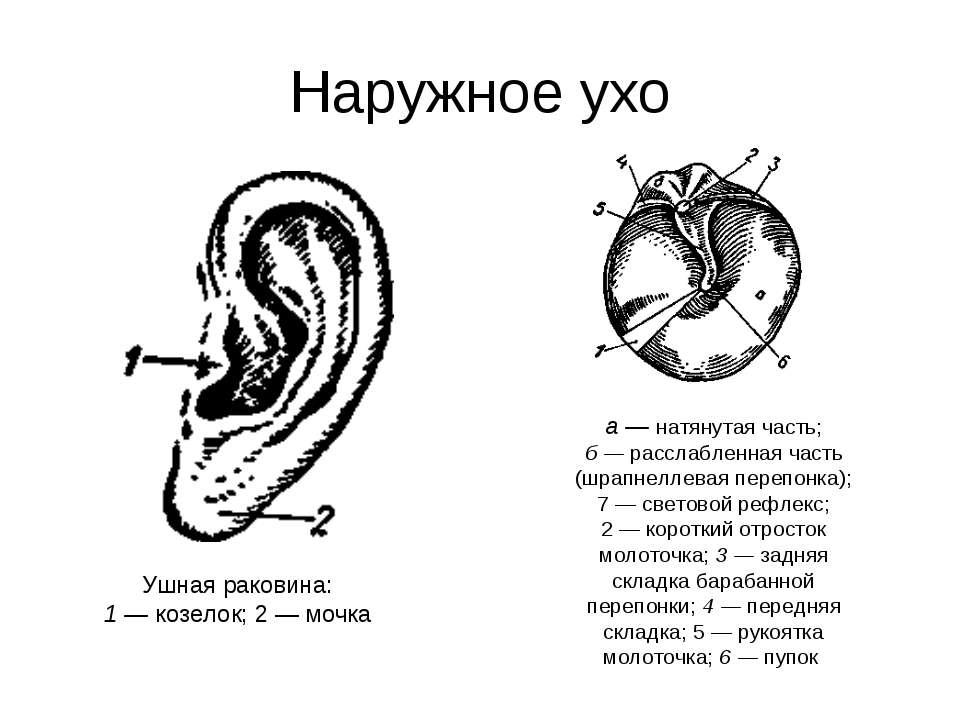 Наружное ухо Ушная раковина: 1 — козелок; 2 — мочка а — натянутая часть; б — ...