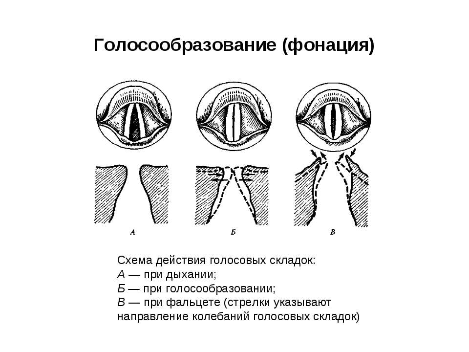 Голосообразование (фонация) Схема действия голосовых складок: А — при дыхании...