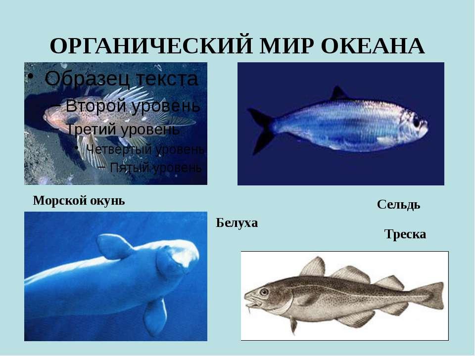 ОРГАНИЧЕСКИЙ МИР ОКЕАНА Морской окунь Треска Сельдь Белуха