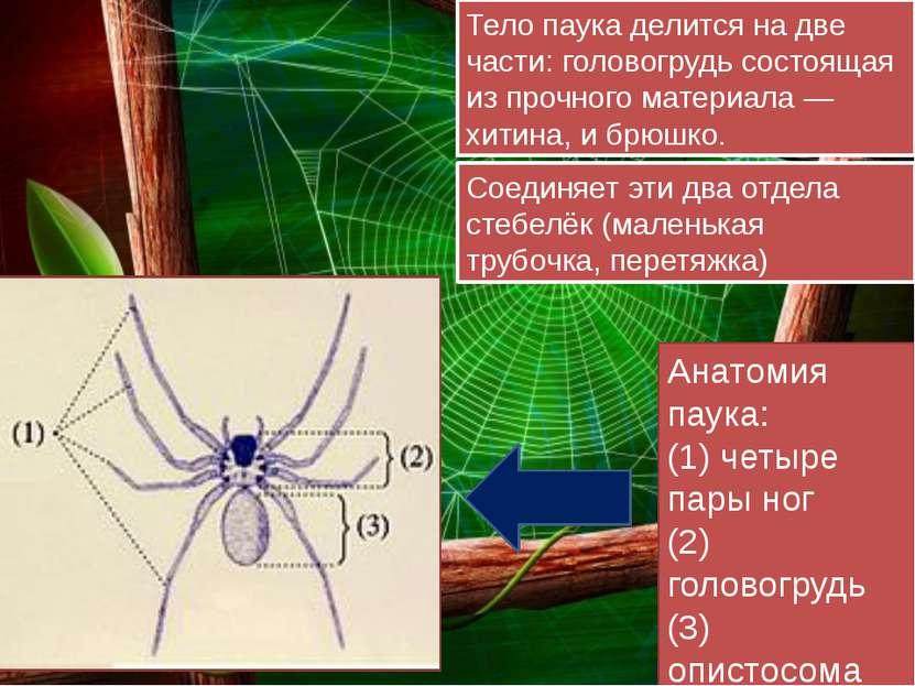 Тело паука делится на две части: головогрудь состоящая из прочного материала...