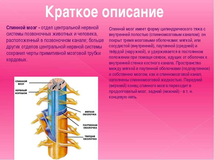Краткое описание Спинной мозг- отдел центральной нервной системы позвоночных...