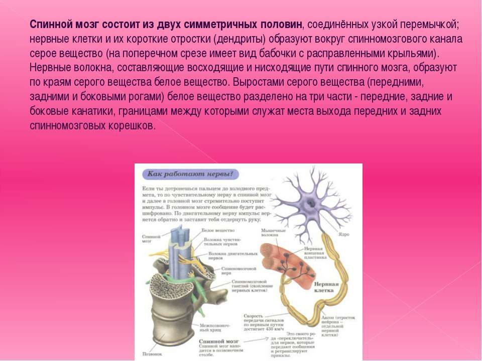 Спинной мозг состоит из двух симметричных половин, соединённых узкой перемычк...