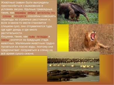 Животные саванн были вынуждены приспособиться к выживанию в условиях засухи. ...