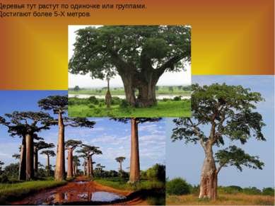 Деревья тут растут по одиночке или группами. Достигают более 5-Х метров.