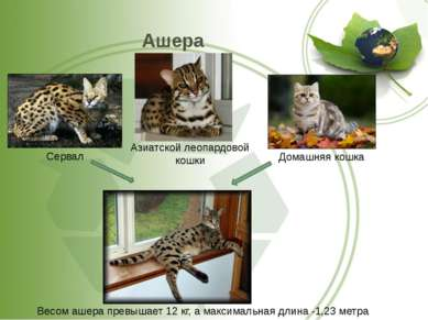 Ашера Сервал Домашняя кошка Весом ашера превышает 12 кг, а максимальная длина...