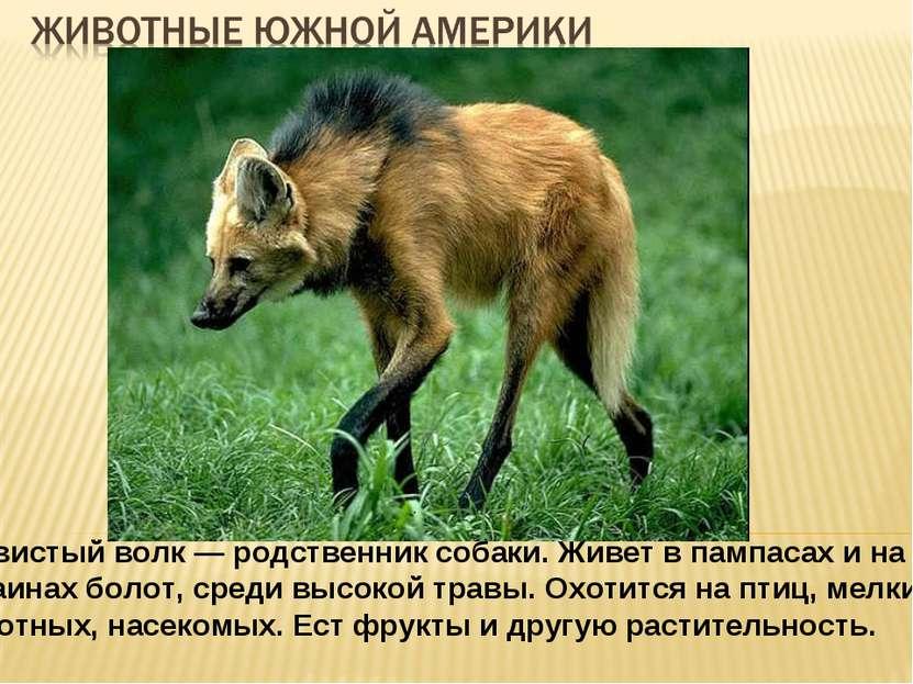 Гривистый волк — родственник собаки. Живет в пампасах и на окраинах болот, ср...