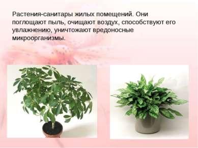 Растения-санитары жилых помещений. Они поглощают пыль, очищают воздух, способ...