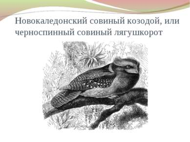 Новокаледонский совиный козодой, или черноспинный совиный лягушкорот