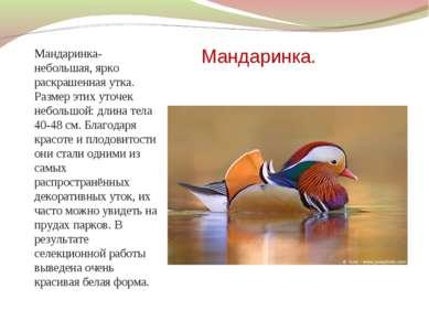 Мандаринка. Мандаринка- небольшая, ярко раскрашенная утка. Размер этих уточек...