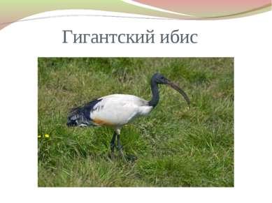 Гигантский ибис