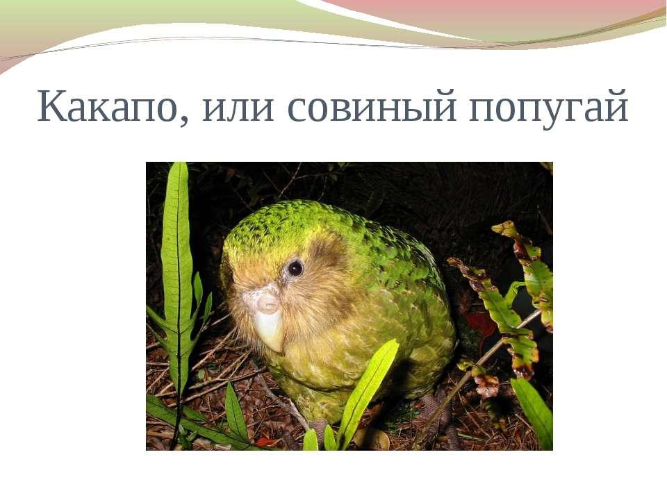 Какапо, или совиный попугай