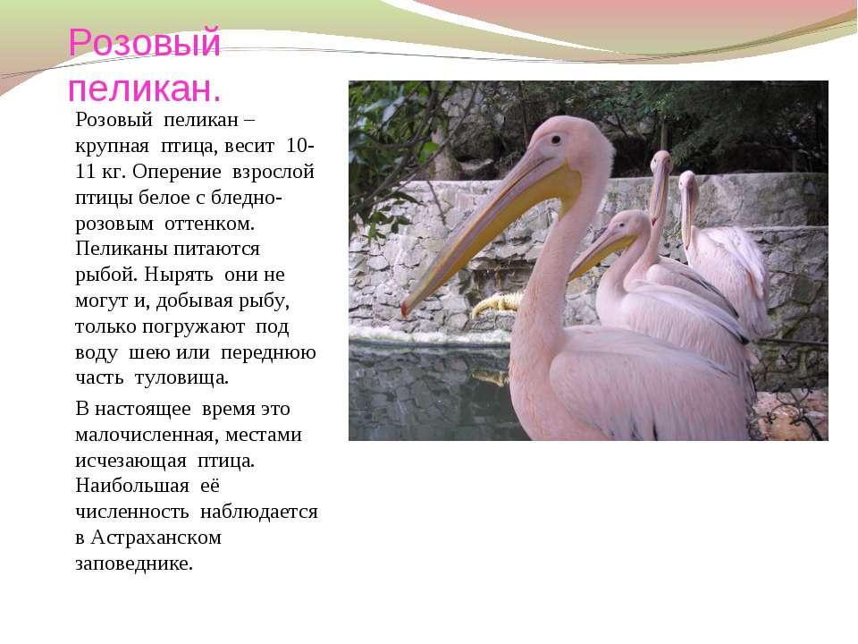 Розовый пеликан. Розовый пеликан – крупная птица, весит 10-11 кг. Оперение вз...