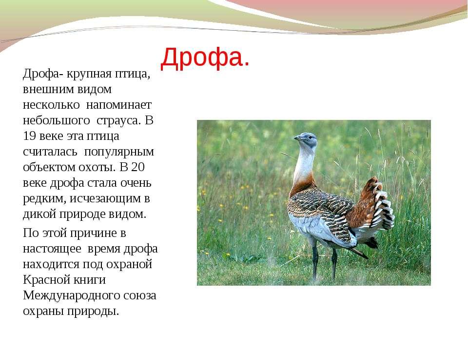 Дрофа. Дрофа- крупная птица, внешним видом несколько напоминает небольшого ст...