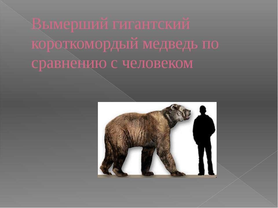 Вымершийгигантский короткомордый медведь по сравнению с человеком