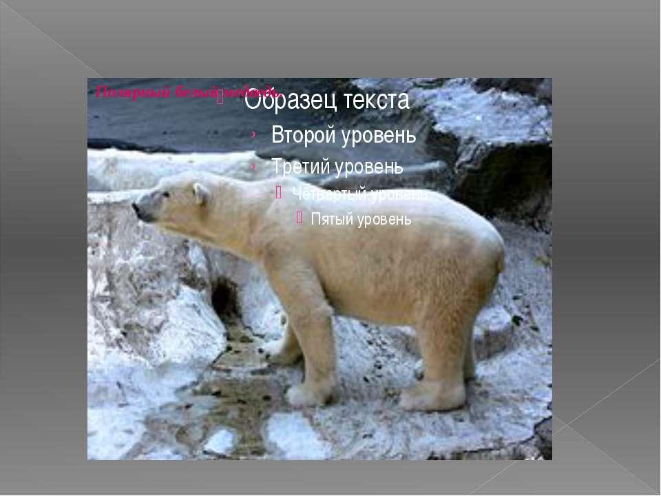 Полярный белый медведь.