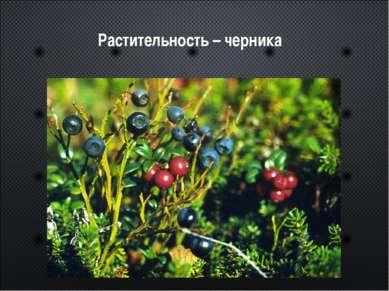 Растительность – черника
