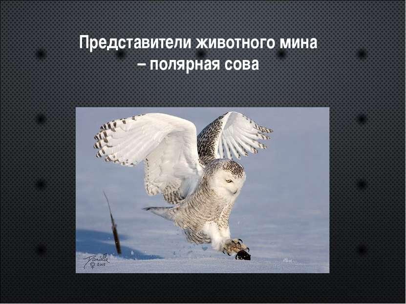 Представители животного мина – полярная сова