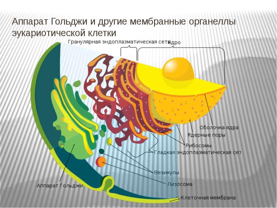 Аппарат Гольджи и другие мембранные органеллы эукариотической клетки