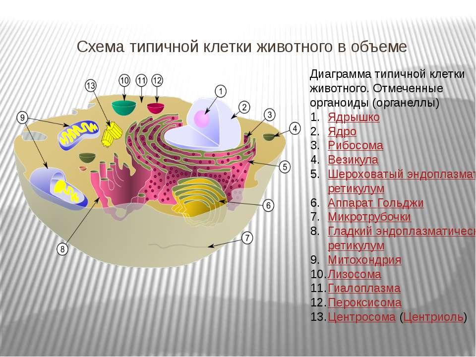 Схема типичной клетки животного в объеме Диаграмма типичной клетки животного....