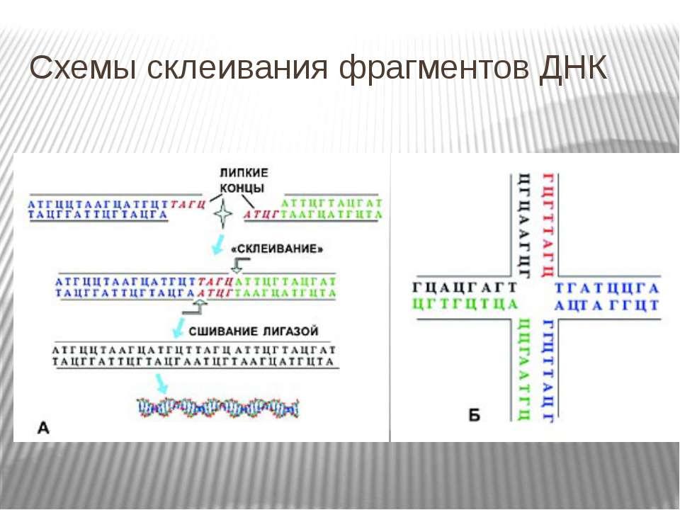 Схемы склеивания фрагментов ДНК
