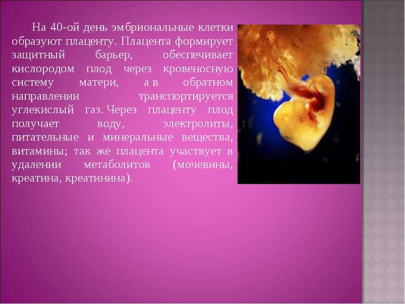 На 40-ой день эмбриональные клетки образуют плаценту. Плацента формирует защи...