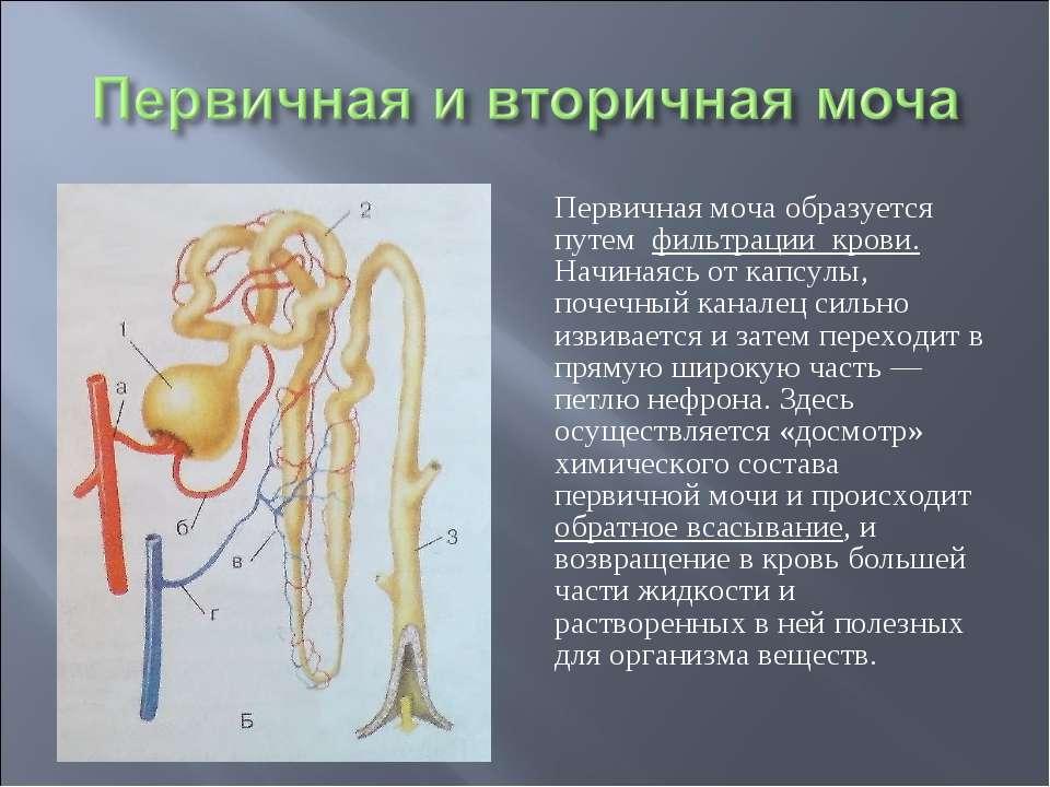Первичная моча образуется путем фильтрации крови. Начинаясь от капсулы, почеч...