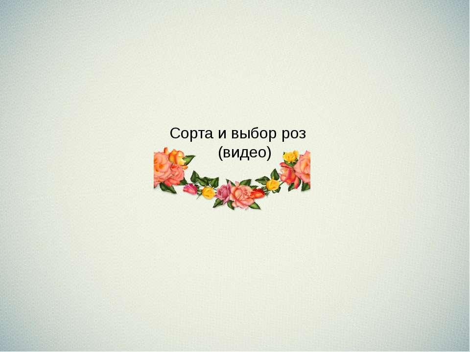 Сорта и выбор роз (видео)