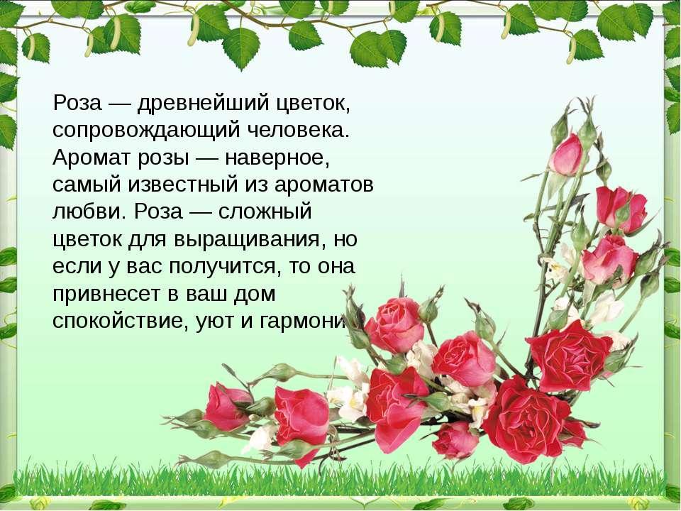 Роза — древнейший цветок, сопровождающий человека. Аромат розы — наверное, са...