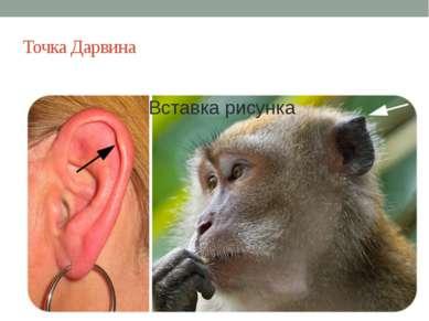 Точка Дарвина Она не имеет никаких функций у человека, но у животных использу...