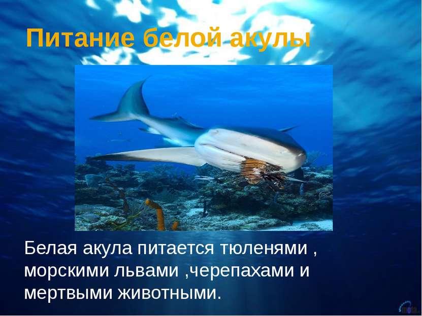 Питание белой акулы Белая акула питается тюленями , морскими львами ,черепаха...