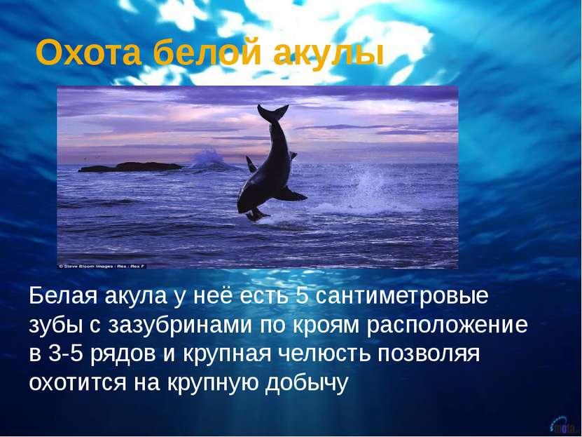 Охота белой акулы Белая акула у неё есть 5 сантиметровые зубы с зазубринами п...