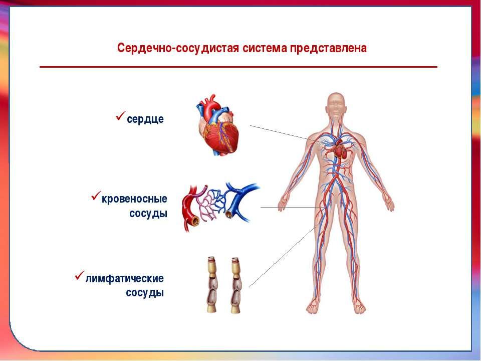 Сердечно-сосудистая система представлена сердце кровеносные сосуды лимфатичес...
