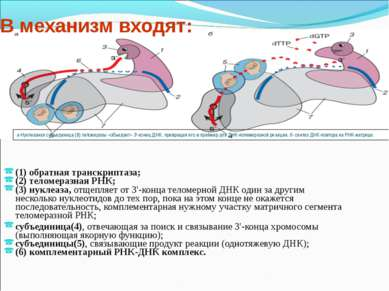 (1) обратная транскриптаза; (2) теломеразная РНК; (3) нуклеаза, отщепляет от ...