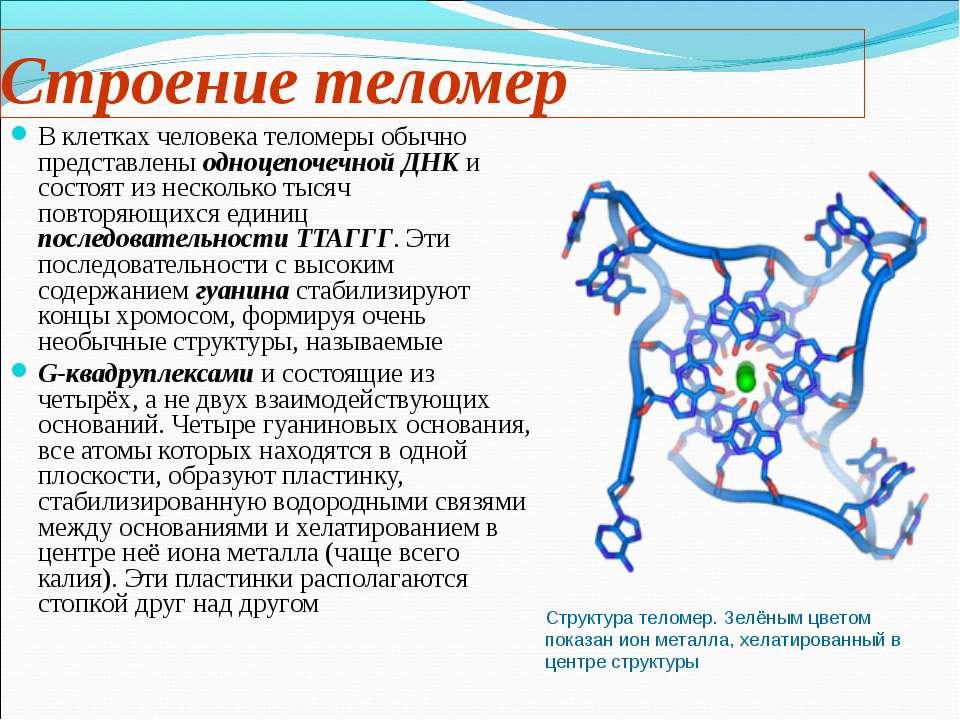Строение теломер В клетках человека теломеры обычно представлены одноцепочечн...