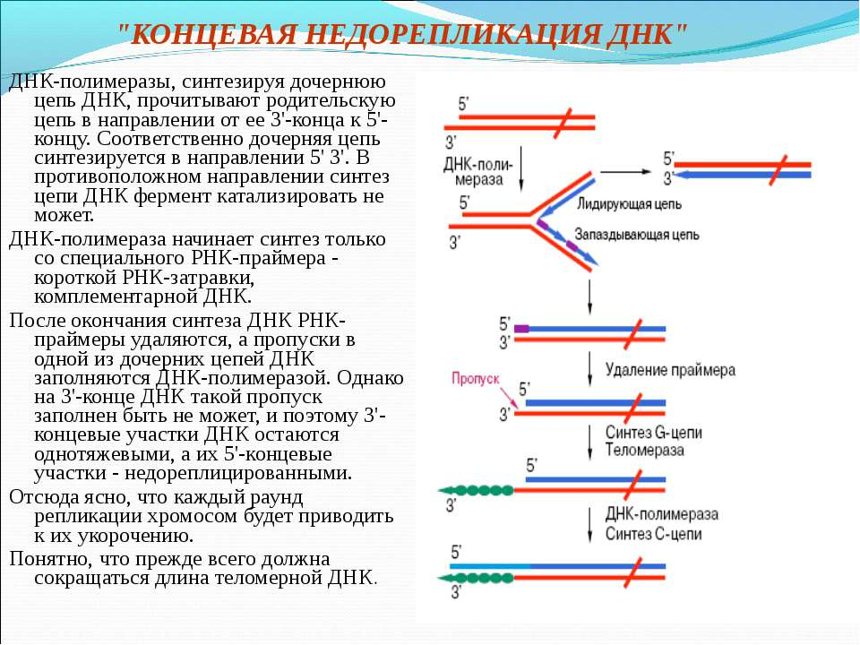 """""""КОНЦЕВАЯ НЕДОРЕПЛИКАЦИЯ ДНК"""" ДНК-полимеразы, синтезируя дочернюю цепь ДНК, п..."""