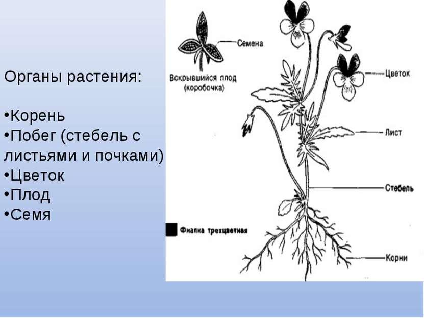 Органы растения: Корень Побег (стебель с листьями и почками) Цветок Плод Семя