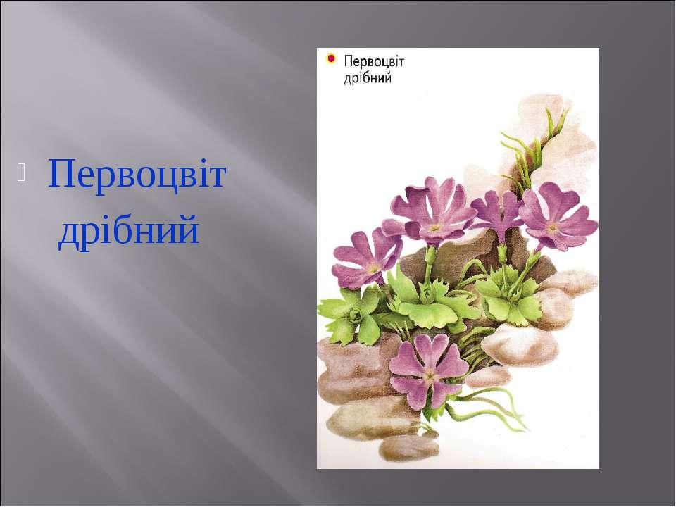 Первоцвіт дрібний