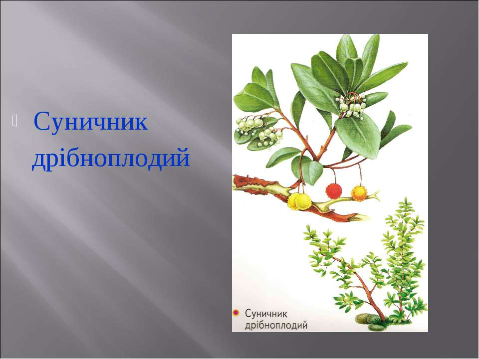 Суничник дрібноплодий