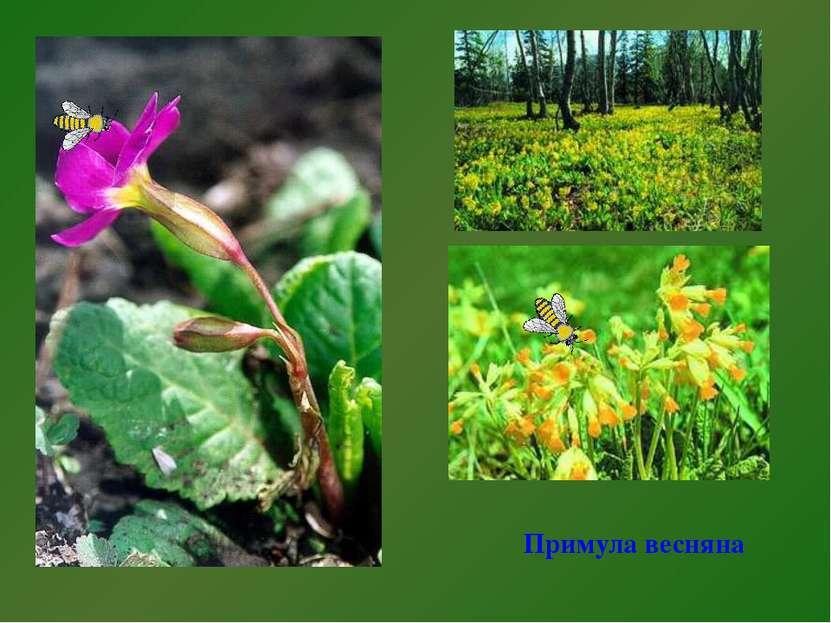 Примула весняна Примула весенняя.