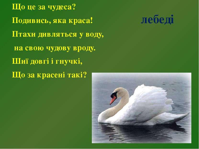 лебеді Що це за чудеса? Подивись, яка краса! Птахи дивляться у воду, на свою ...