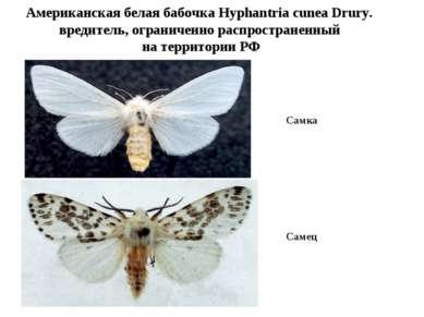 Американская белая бабочка Hyphantria cunea Drury. вредитель, ограниченно рас...