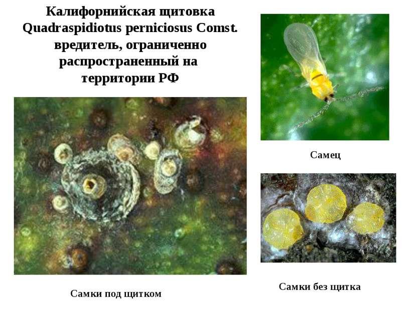 Калифорнийская щитовка Quadraspidiotus perniciosus Comst. вредитель, ограниче...