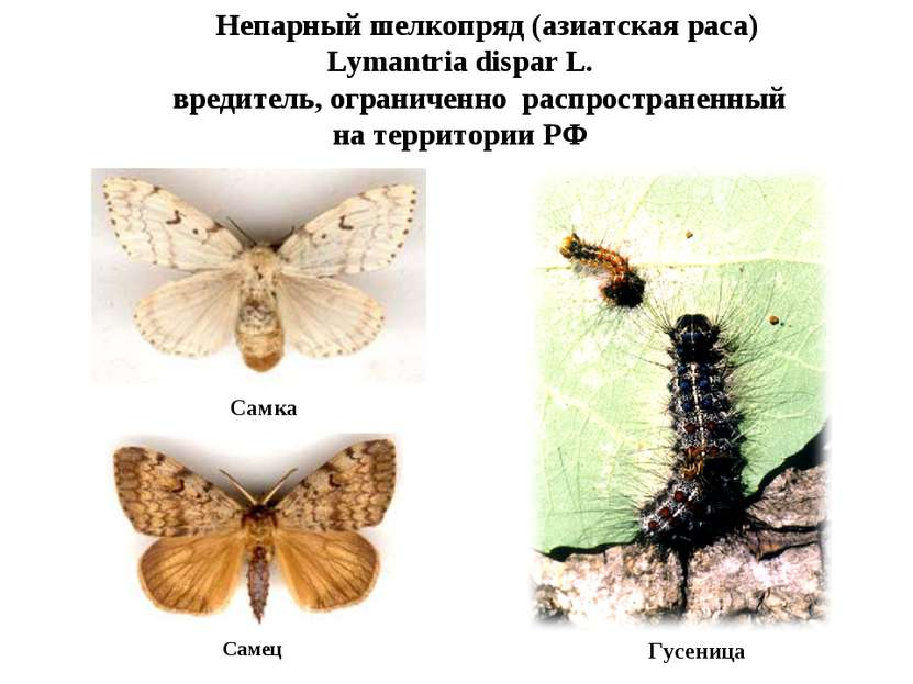 Непарный шелкопряд (азиатская раса) Lymantria dispar L. вредитель, ограниченн...