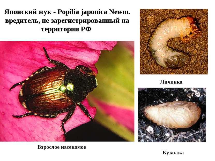 Японский жук - Popilia japonica Newm. вредитель, не зарегистрированный на тер...